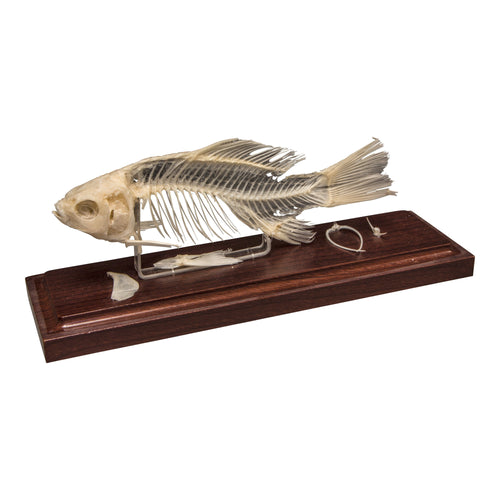 Real Fish Economy Skeleton