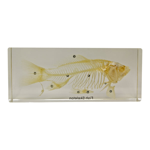 Real Fish Skeleton in Acrylic Block - DCD