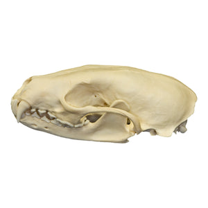 Real Fisher Skull