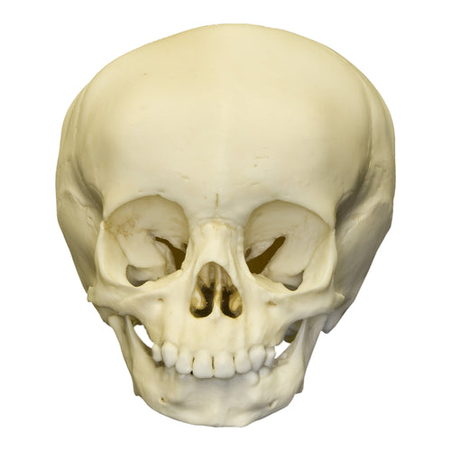 Replica 15-month-old Human Child Skull