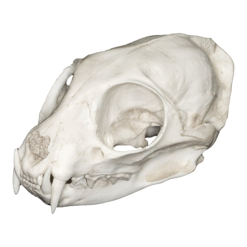 Replica Flat-headed Cat Skull