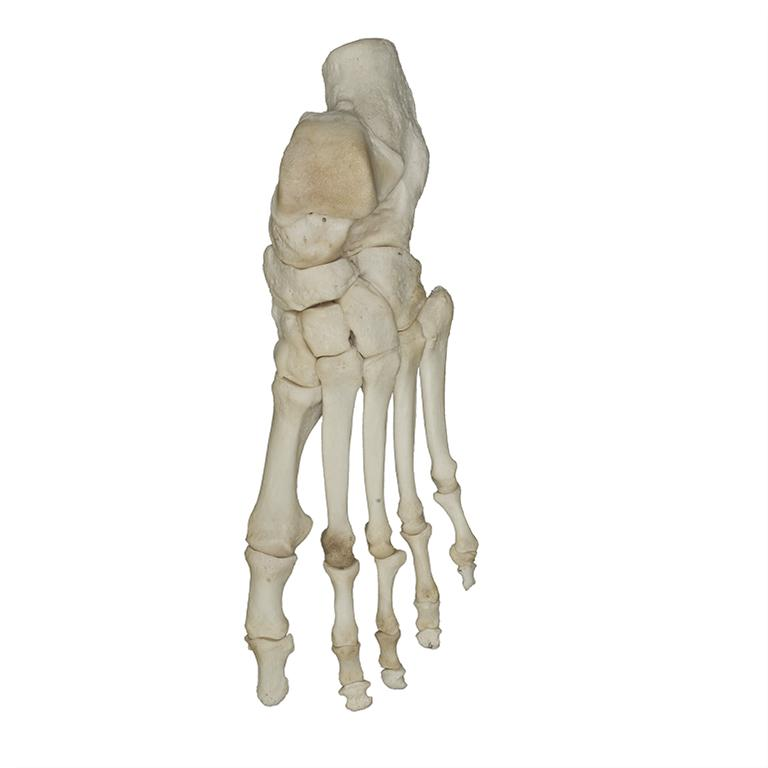 Real Human Foot Articulated For Sale Skulls Unlimited