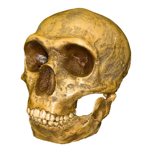 Replica Forbes Quarry Skull