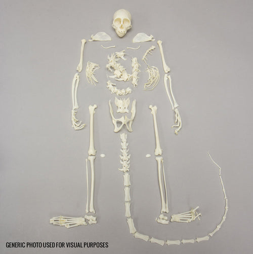 Real Squirrel Monkey Skeleton