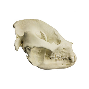 Replica Giant Panda Skull - Adult