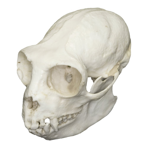 Replica Golden-headed Lion Tamarin Skull