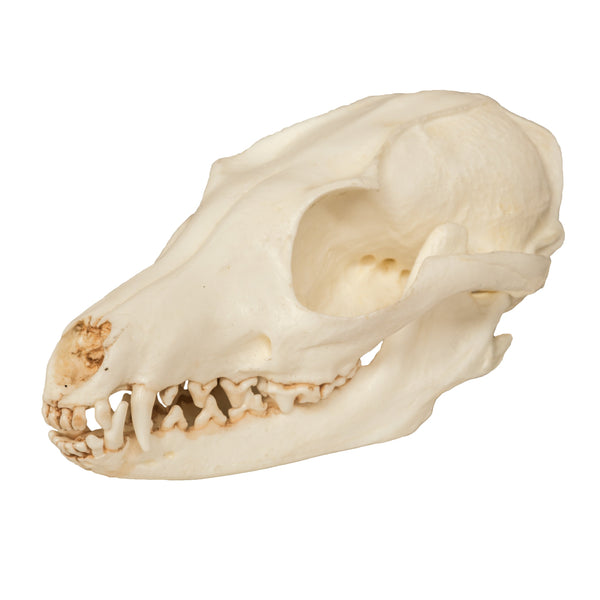Replica Gray Fox Skull