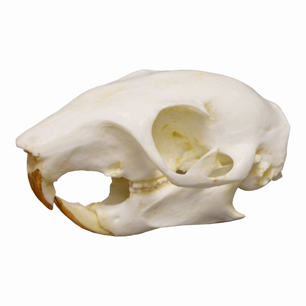 Replica Tree Squirrel Skull