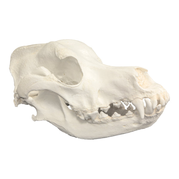Replica Great Dane Skull