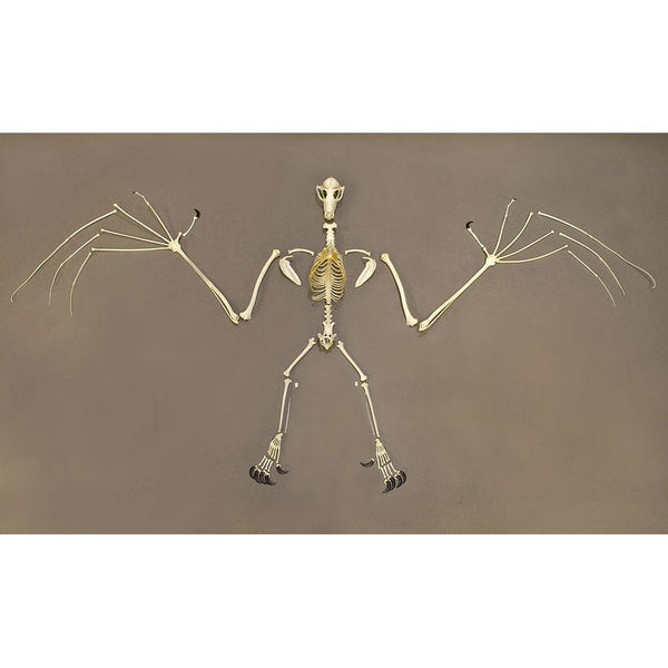 Replica Greater Flying Fox Skeleton