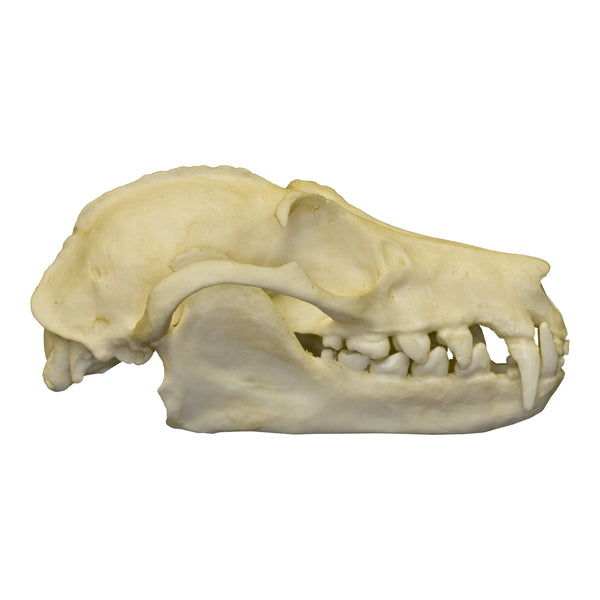 Replica Greater Flying Fox Skull