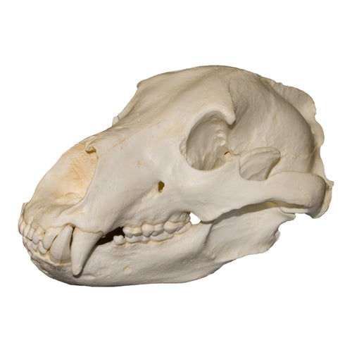 Replica Teaching Quality Grizzly Bear Skull