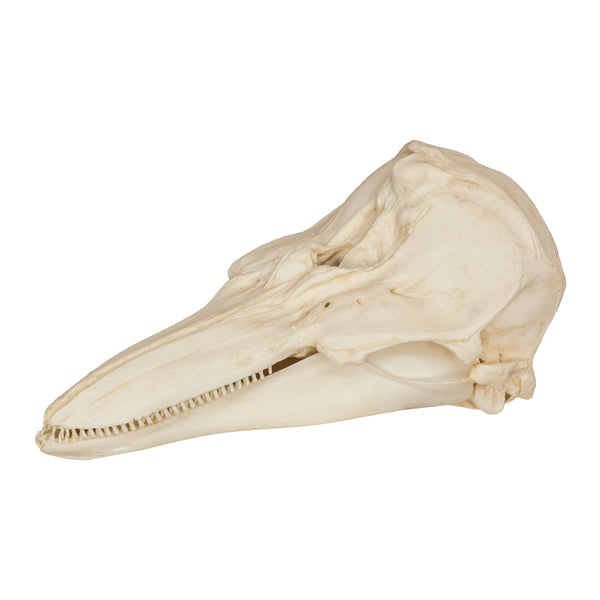 Replica Harbor Porpoise Skull