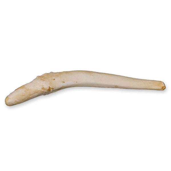 Replica Harbor Seal Baculum