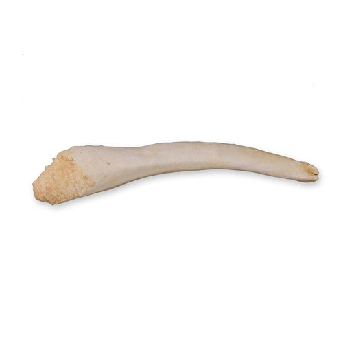 Replica Harp Seal Baculum