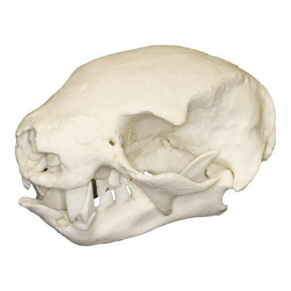 Replica Hoffmann's Two-toed Sloth Skull