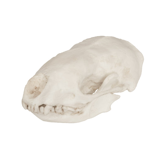 Replica Hog-nosed Skunk Skull