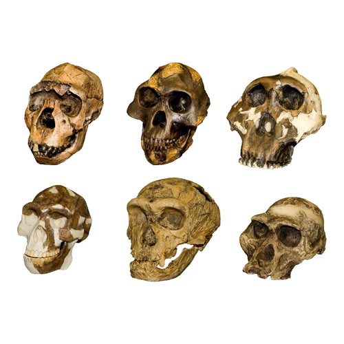 Replica Hominid Set of Six