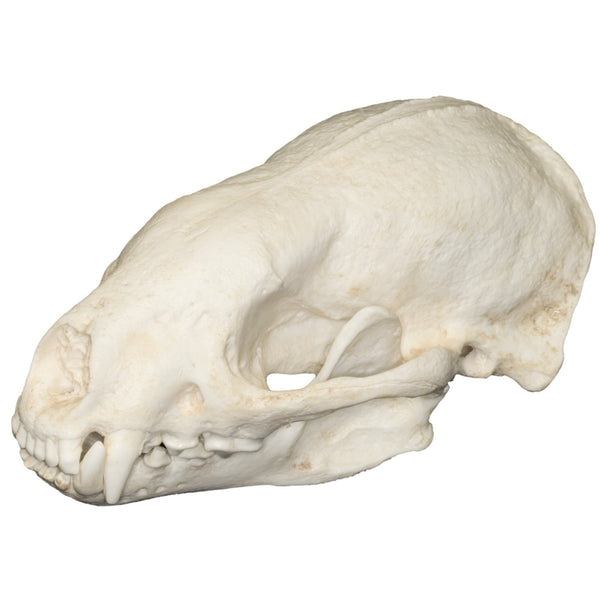 Replica Honey Badger Skull