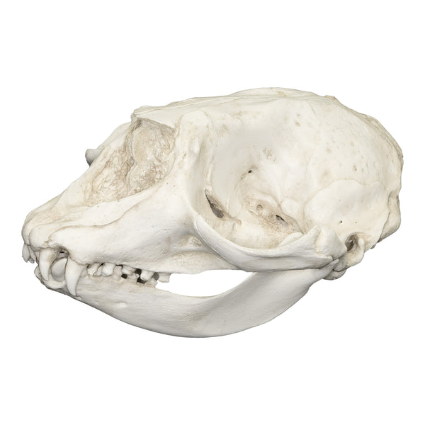 Replica Hooded Seal Skull