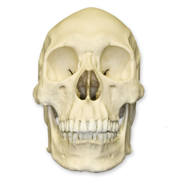 Replica Human Skull - Asian Male