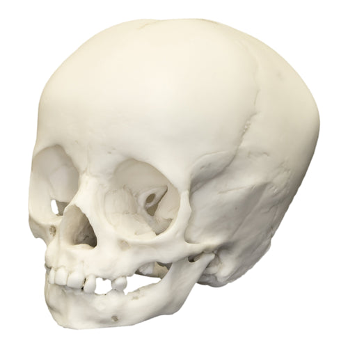 Replica 1-year-old Human Child Skull