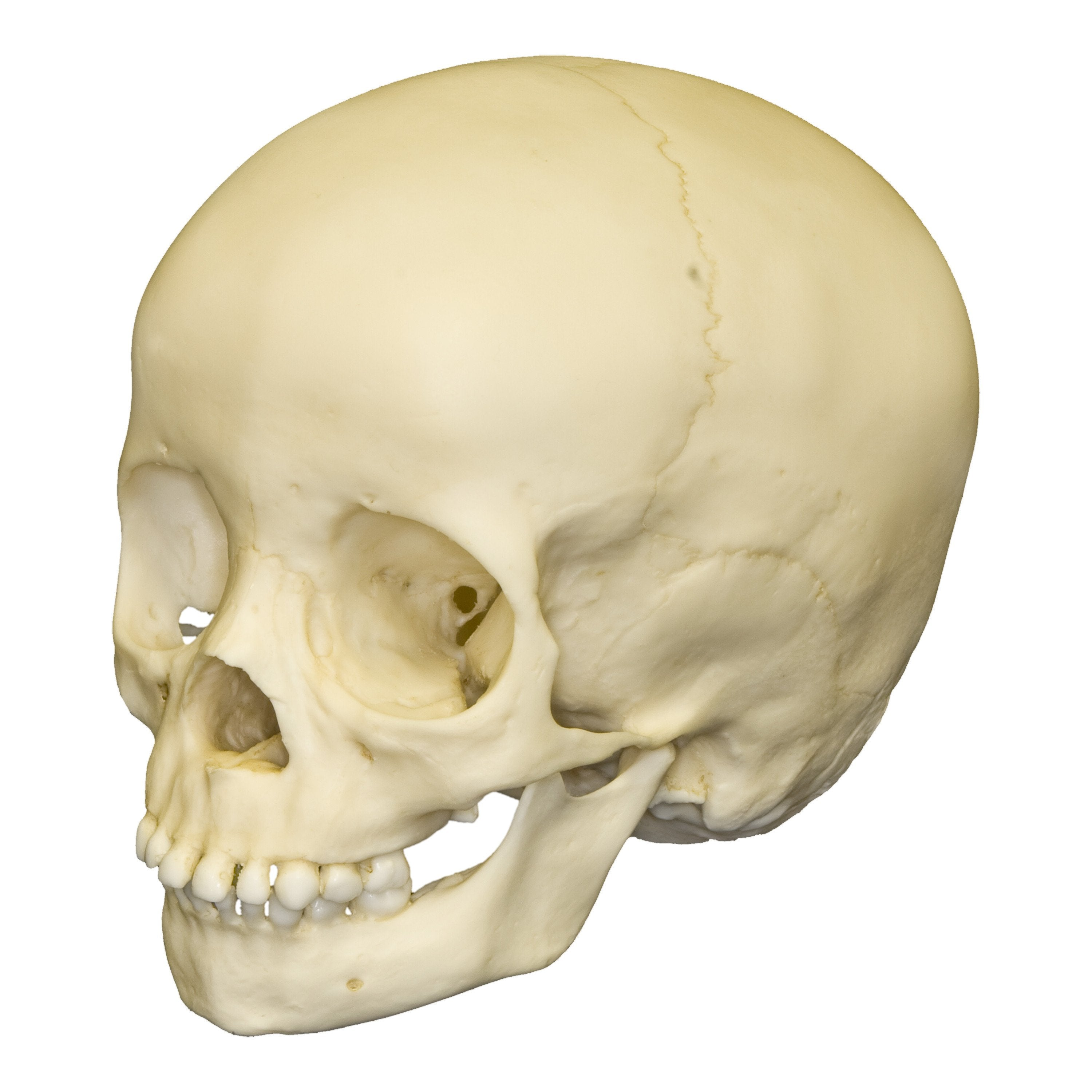 Replica 3 Year Old Human Child Skull For Sale Skulls Unlimited