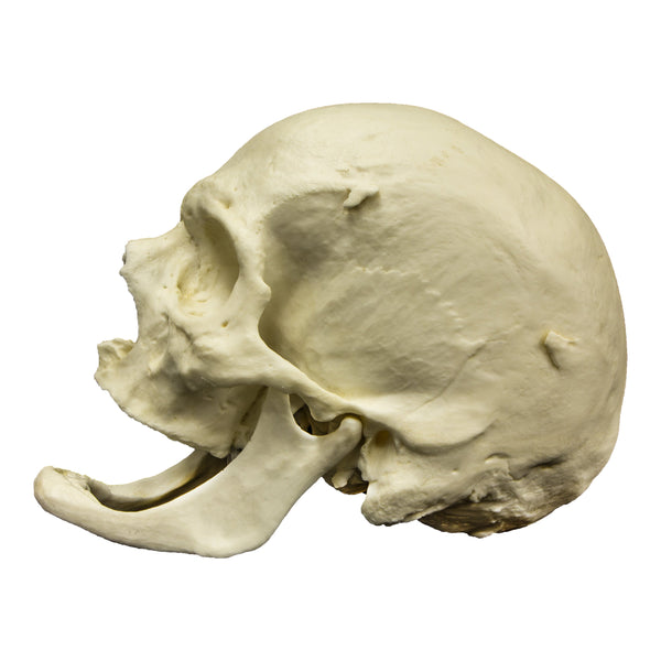 Replica Human Skull - Elderly European Male