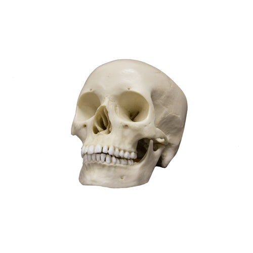 Replica Human Skull - Asian Female
