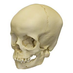 Replica 5-year-old Human Child Skull
