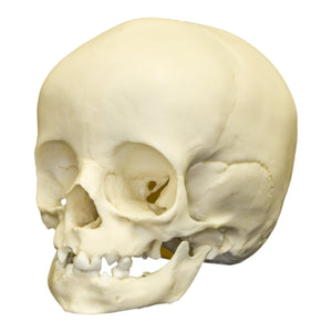 Replica 14-month-old Human Child Skull
