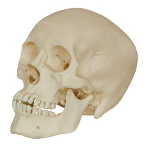 Replica Human Male Adolescent Skull
