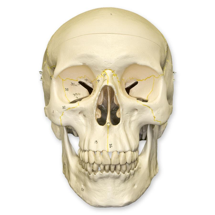 Replica Human Skull Numbered For Sale – Skulls Unlimited ...