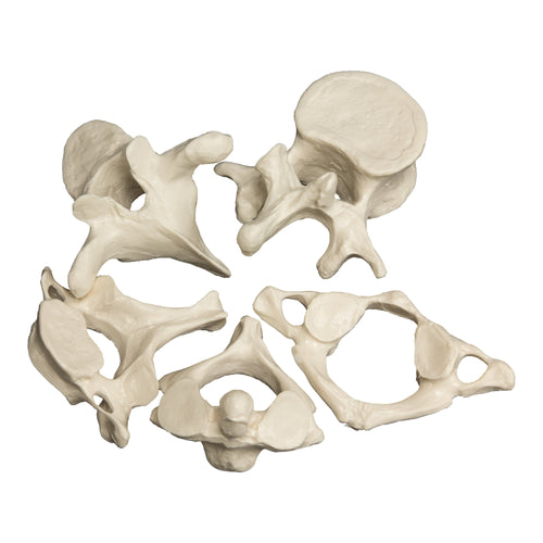 Replica Vertebrae 5 Piece Set
