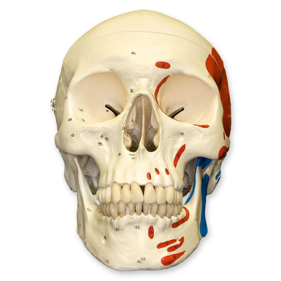 Replica Human Skull With Muscles For Sale Skulls Unlimited