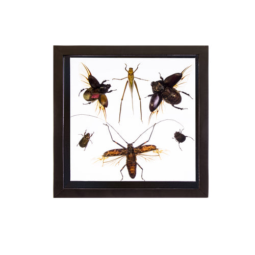 Real Peruvian Insects 6 Taxidermy in an Entomology Gallery Style Framed Display