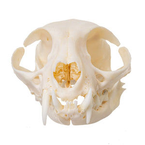 Real Domestic Cat Skull (Periodontal Disease)