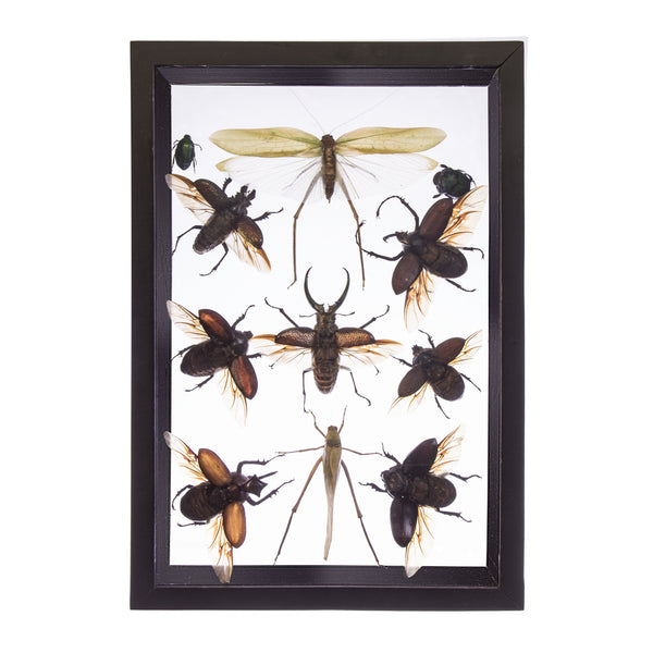 Real Insect of 11 Flying Beetles Taxidermy in an Entomology Gallery Style Framed Display