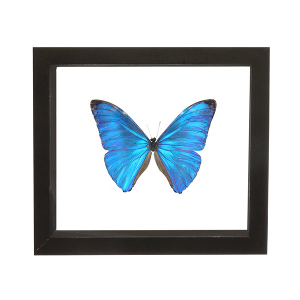 Real Insect of a Morpho Adonis Taxidermy in an Entomology Gallery Style Framed Display