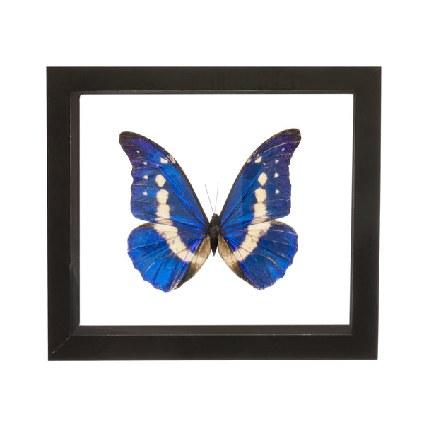 Real Insect of a Morpho Rhetenor Helena Taxidermy in an Entomology Gallery Style Framed Display