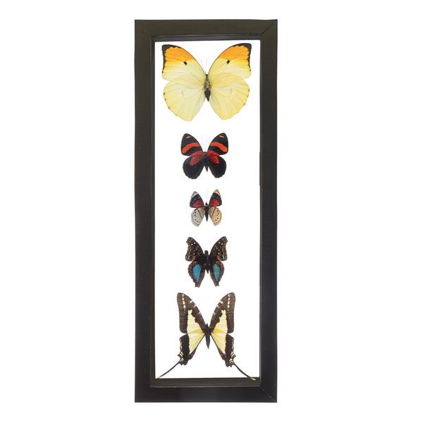 Real Insect of 5 Peruvian Butterflies Taxidermy in an Entomology Gallery Style Framed Display