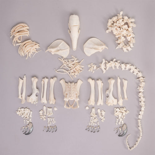Real Tamandua Skeleton