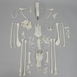 Real Chilean Flamingo Skeleton