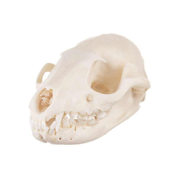 Real Asian Palm Civet Skull
