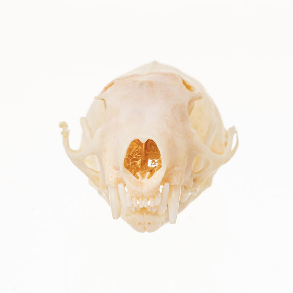 Real Short-tailed Weasel Skull (with Baculum)