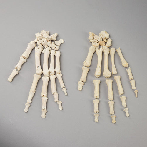 Real Human Left Hand (Two)