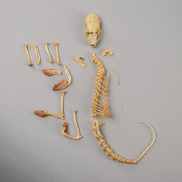 Real Short-tailed Weasel Skeleton