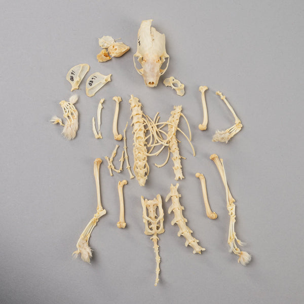 Real Long-tailed Weasel Skeleton