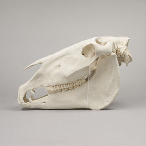Real Draft Horse Skeleton - (Disarticulated)