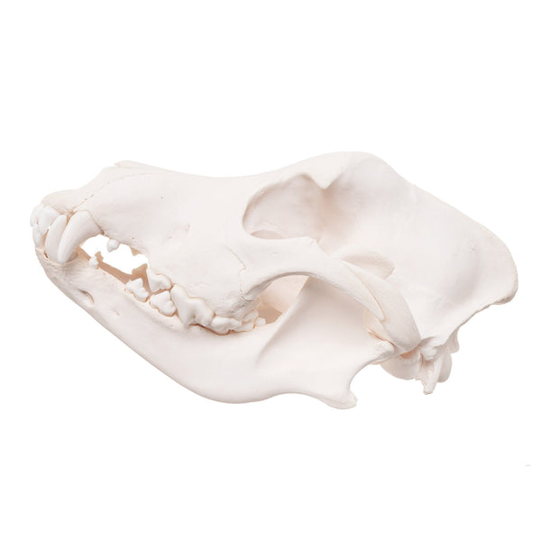 Real Domestic Dog Skull - Great Pyrenees
